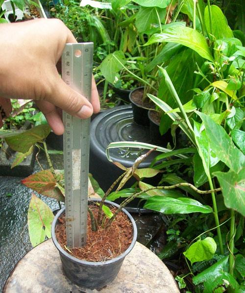 https://pictures.thailandplant.com/ebay_2012/28-09/plant_2276_1/plant_1.jpg