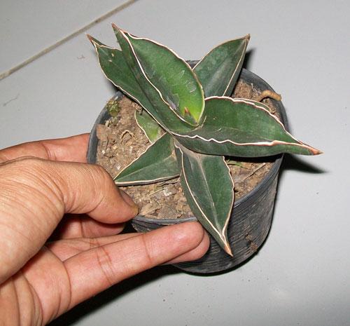 https://pictures.thailandplant.com/ebay_2013/09-01/SANSEVIERIA/plant-3.jpg