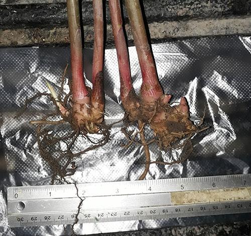 https://pictures.thailandplant.com/ebay_2017/19-07/rhizomes.jpg