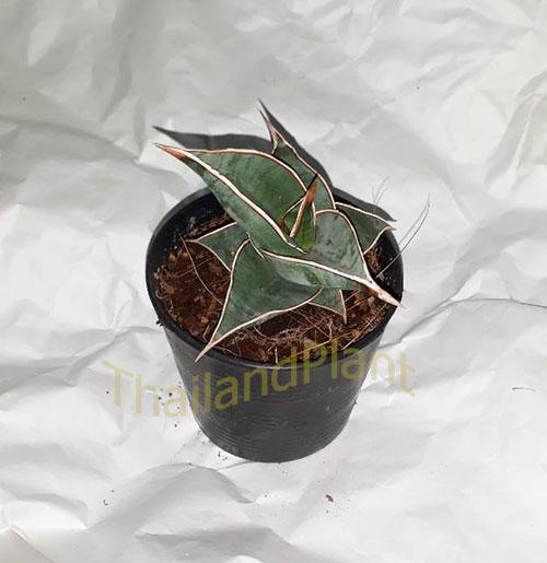 https://pictures.thailandplant.com/ebay_2018/04-11/5568/Sansevieria-Pinguicula-1.jpg
