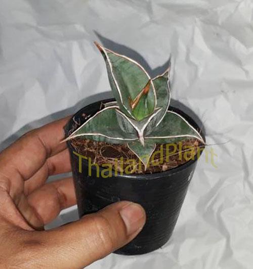 https://pictures.thailandplant.com/ebay_2018/04-11/5568/Sansevieria-Pinguicula-2.jpg