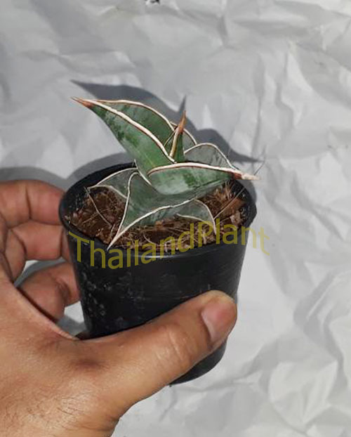 https://pictures.thailandplant.com/ebay_2018/04-11/5568/Sansevieria-Pinguicula-3.jpg