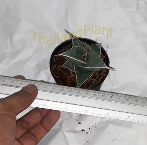 https://pictures.thailandplant.com/ebay_2018/04-11/5568/Sansevieria-Pinguicula-4.jpg