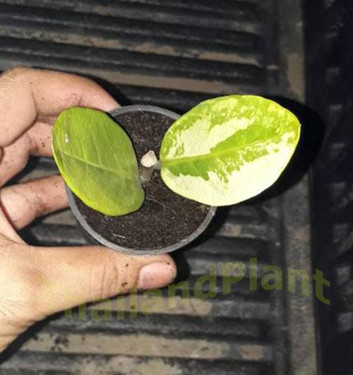 https://pictures.thailandplant.com/ebay_2018/14-11/Zamioculcas-Zamiifolia-Variegated-2.jpg