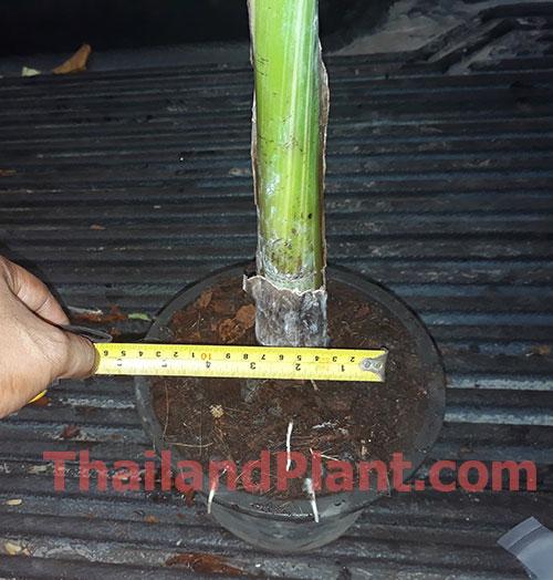 https://pictures.thailandplant.com/ebay_2020/AE-AE-2.jpg
