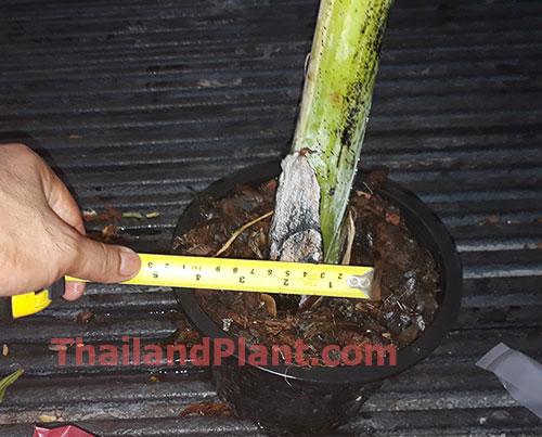 https://pictures.thailandplant.com/ebay_2020/VARIEGATED-tanee-3.jpg