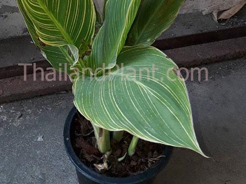 https://pictures.thailandplant.com/ebay_2020/canna-yellow-v.jpg