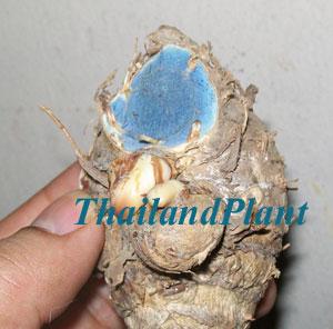 https://pictures.thailandplant.com/ebay_image/Black-Turmeric-small.jpg