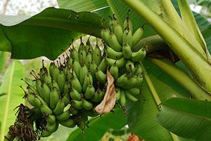 https://pictures.thailandplant.com/~images/2021-Kluai/01-Kluai%20Khai%20Thong%20Ngoei/300-Kluai-Khai-Thong-Ngoei-2.jpg