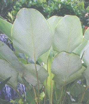 https://pictures.thailandplant.com/~images/bulb/1027_3.jpg