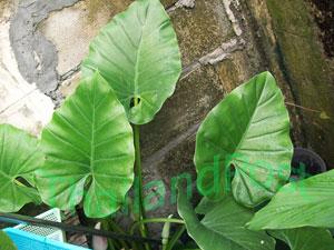 https://pictures.thailandplant.com/~images/bulb/2011/110_3.jpg