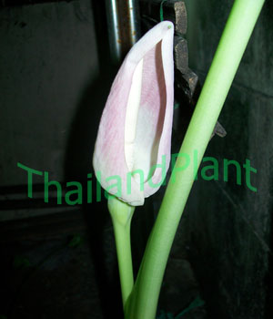 https://pictures.thailandplant.com/~images/bulb/2011/110_4.jpg