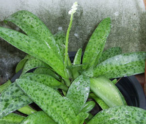 https://pictures.thailandplant.com/~images/bulb/2012/2261_1.jpg