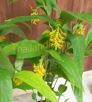 https://pictures.thailandplant.com/~images/bulb/2012/2272-2.jpg