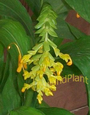 https://pictures.thailandplant.com/~images/bulb/2012/2272-3.jpg
