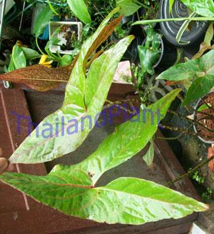 https://pictures.thailandplant.com/~images/bulb/2012/2276_1.jpg