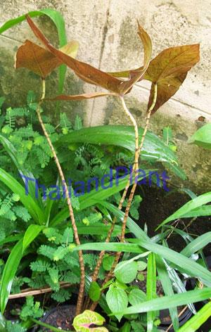 https://pictures.thailandplant.com/~images/bulb/2012/2276_2.jpg