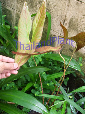 https://pictures.thailandplant.com/~images/bulb/2012/2276_3.jpg