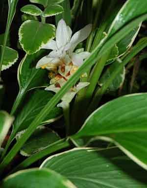 https://pictures.thailandplant.com/~images/bulb/2012/2281-1.jpg