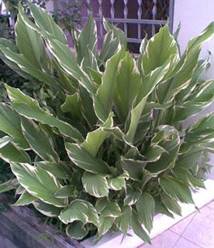 https://pictures.thailandplant.com/~images/bulb/2012/2281-3.jpg