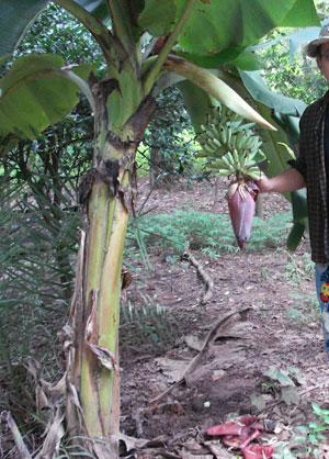 https://pictures.thailandplant.com/~images/bulb/2012/Dwarf_Nam_Wa_banana_1.jpg