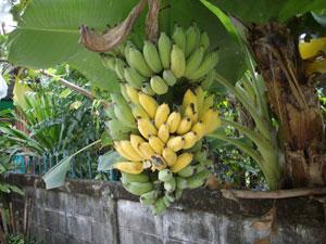 https://pictures.thailandplant.com/~images/bulb/2012/Dwarf_Nam_Wa_banana_2.jpg