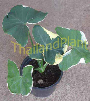 https://pictures.thailandplant.com/~images/bulb/2013/1033-1.jpg