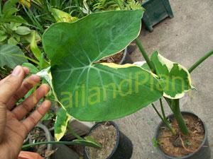 https://pictures.thailandplant.com/~images/bulb/2013/1033-2.jpg