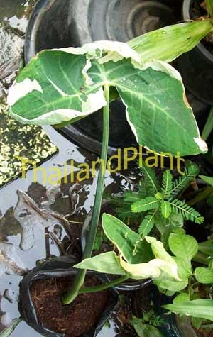 https://pictures.thailandplant.com/~images/bulb/2013/1033-3.jpg