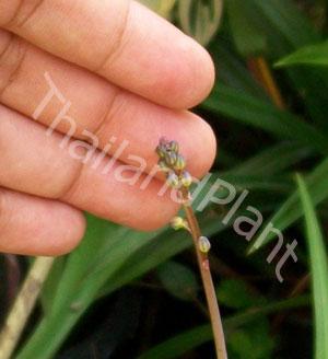 https://pictures.thailandplant.com/~images/bulb/2013/2279_3.jpg