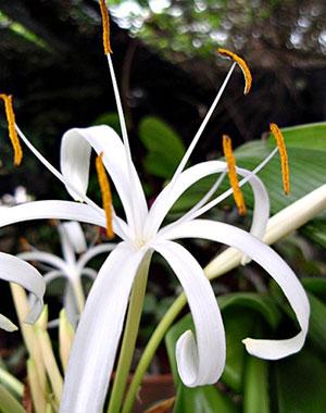 https://pictures.thailandplant.com/%7Eimages/bulb/2013/2285-2.jpg