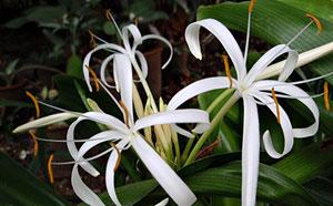 https://pictures.thailandplant.com/~images/bulb/2013/2285-3.jpg