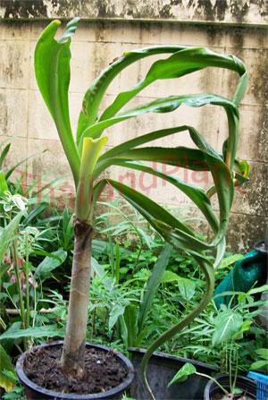 https://pictures.thailandplant.com/~images/bulb/2013/2285-4.jpg