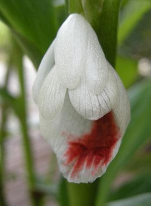 https://pictures.thailandplant.com/~images/bulb/2013/2287-2.jpg