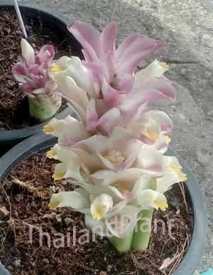 https://pictures.thailandplant.com/~images/bulb/2016/2333.jpg