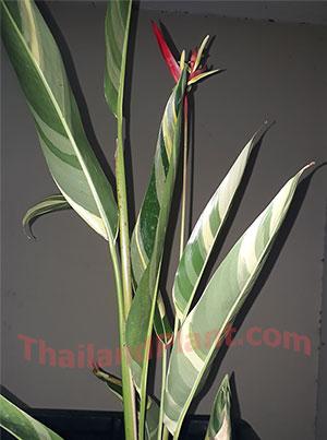 https://pictures.thailandplant.com/~images/bulb/2018/5556-1.jpg