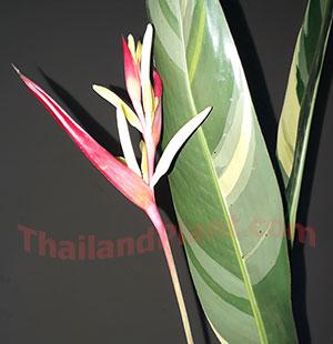 https://pictures.thailandplant.com/~images/bulb/2018/5556-2.jpg