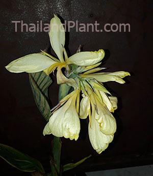 https://pictures.thailandplant.com/~images/bulb/2020/00001_2.jpg