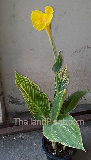 https://pictures.thailandplant.com/~images/bulb/2020/canna-yellow-v-1_1.jpg