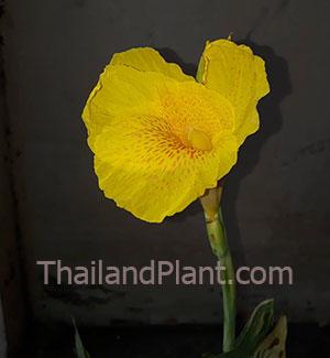 https://pictures.thailandplant.com/~images/bulb/2020/canna-yellow-v-2_1.jpg