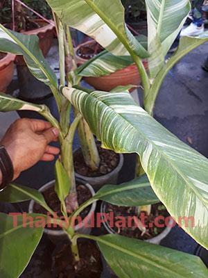 https://pictures.thailandplant.com/~images/bulb/2020/small-Kluai-TaNee-variegated-1.jpg