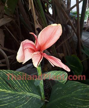 https://pictures.thailandplant.com/~images/bulb/2020/small-pink-tiger-1.jpg
