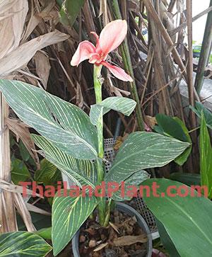 https://pictures.thailandplant.com/~images/bulb/2020/small-pink-tiger-2.jpg