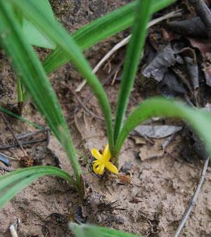 https://pictures.thailandplant.com/~images/bulb/2113_1.jpg