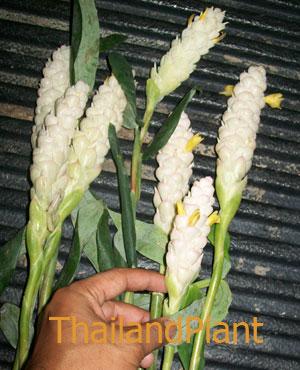 https://pictures.thailandplant.com/~images/bulb/2312-2.jpg