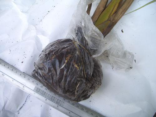 https://pictures.thailandplant.com/~images/products/19-10-07/bulb_1027_1/bulb.jpg